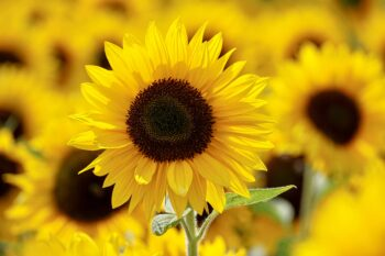 Are Sunflower Seeds Bad For Wild Birds?