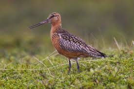bartailed godwit, wading bird, nature