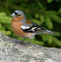 This image has an empty alt attribute; its file name is Chaffinch-2.jpg