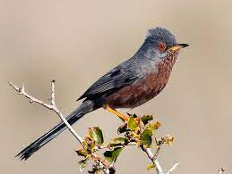 This image has an empty alt attribute; its file name is Dartford-warbler-2.jpg