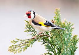 This image has an empty alt attribute; its file name is Goldfinch-1.jpg