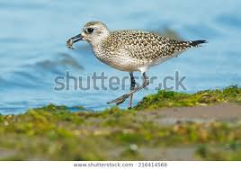grey plover, wading bird, by seashore, nature