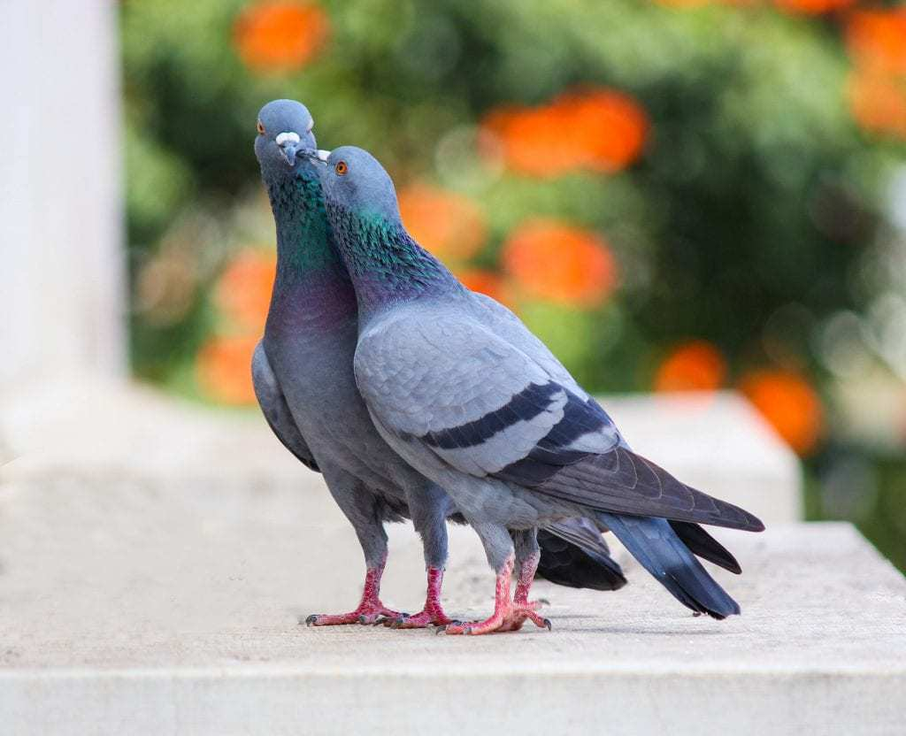 Image of a pigeon for a blog by kennedy Wild Bird Food on why birds sing