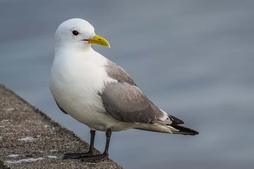Kittiwake, sea bird, nature, uk