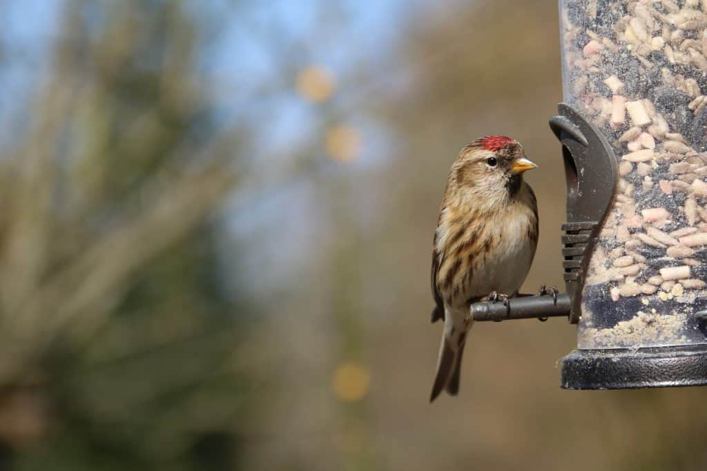 Lesser redpoll feeding on bird seeds
