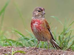 This image has an empty alt attribute; its file name is Linnet-3.jpg