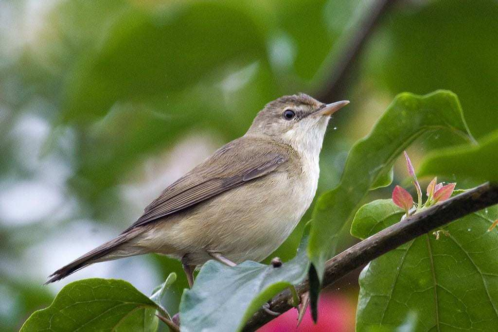 Guide To The Reed Warbler Kennedy Wild Bird Food