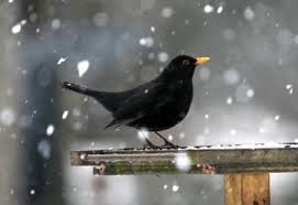 This image has an empty alt attribute; its file name is blackbird-2.jpg