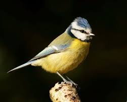 This image has an empty alt attribute; its file name is blue-tit.jpg