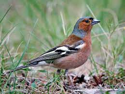 This image has an empty alt attribute; its file name is chaffinch-3.jpg