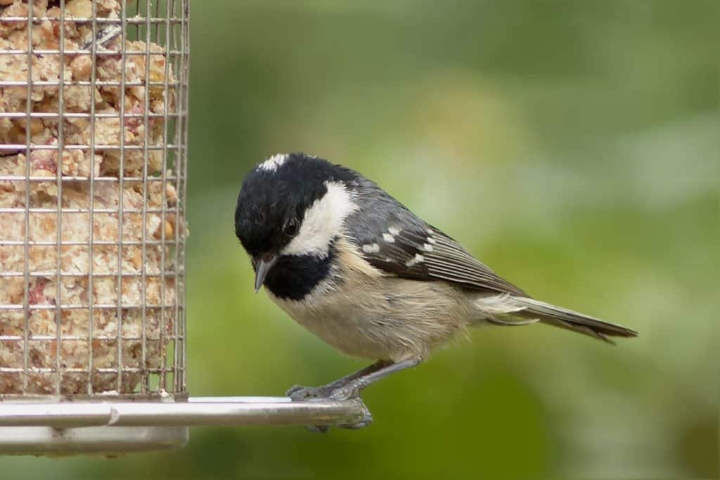 coal tit eating