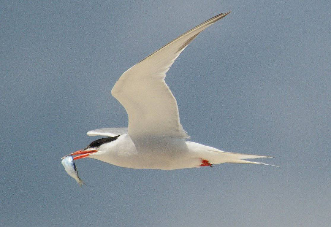 common tern, sea bird, nature, in flight with fish