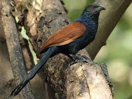 This image has an empty alt attribute; its file name is coucal-1.jpg