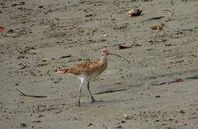 curlew, wading bird, on beach, nature