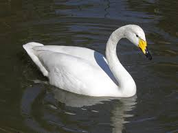 whooper swan, large bird, nature