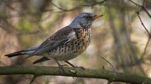 This image has an empty alt attribute; its file name is fieldfare-1.jpg