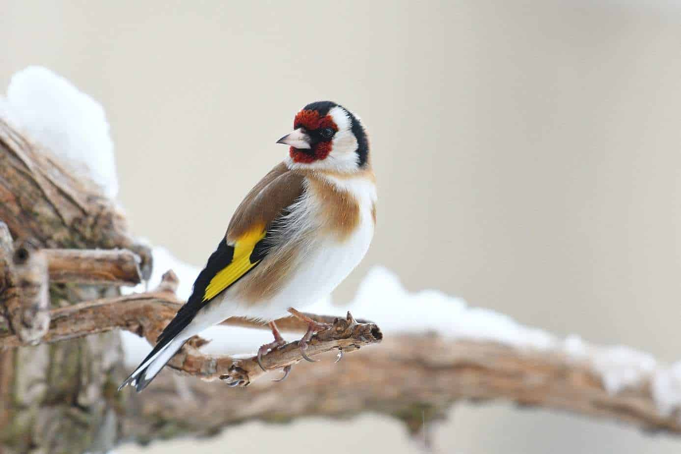 a goldfinch sat on a snowy branch