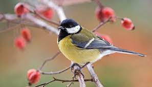 This image has an empty alt attribute; its file name is great-tit-1.jpg