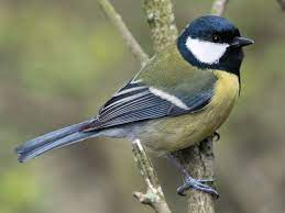 This image has an empty alt attribute; its file name is great-tit-2.jpg