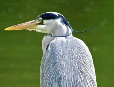 Grey heron, bird, nature
