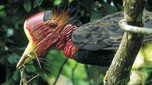 This image has an empty alt attribute; its file name is helmeted-hornbill-1.jpg