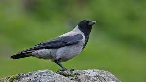 This image has an empty alt attribute; its file name is hooded-crow-1.jpg