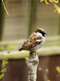 This image has an empty alt attribute; its file name is house-sparrow-1.jpg