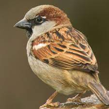 This image has an empty alt attribute; its file name is house-sparrow-3.jpg