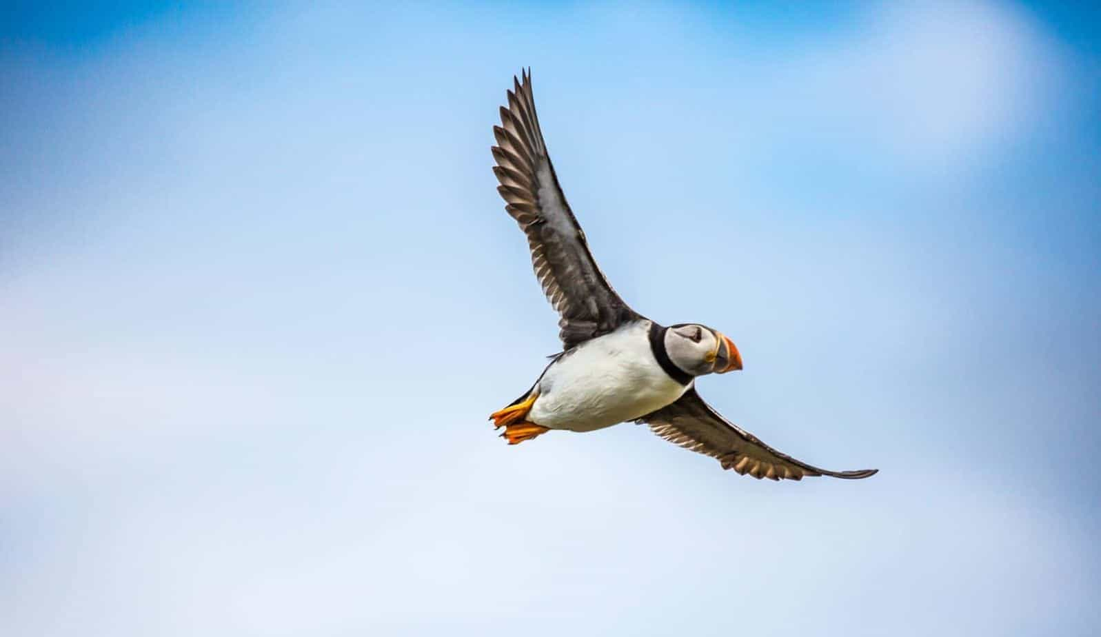 https://pixabay.com/photos/puffin-bird-sea-flight-wildlife-1107405/
