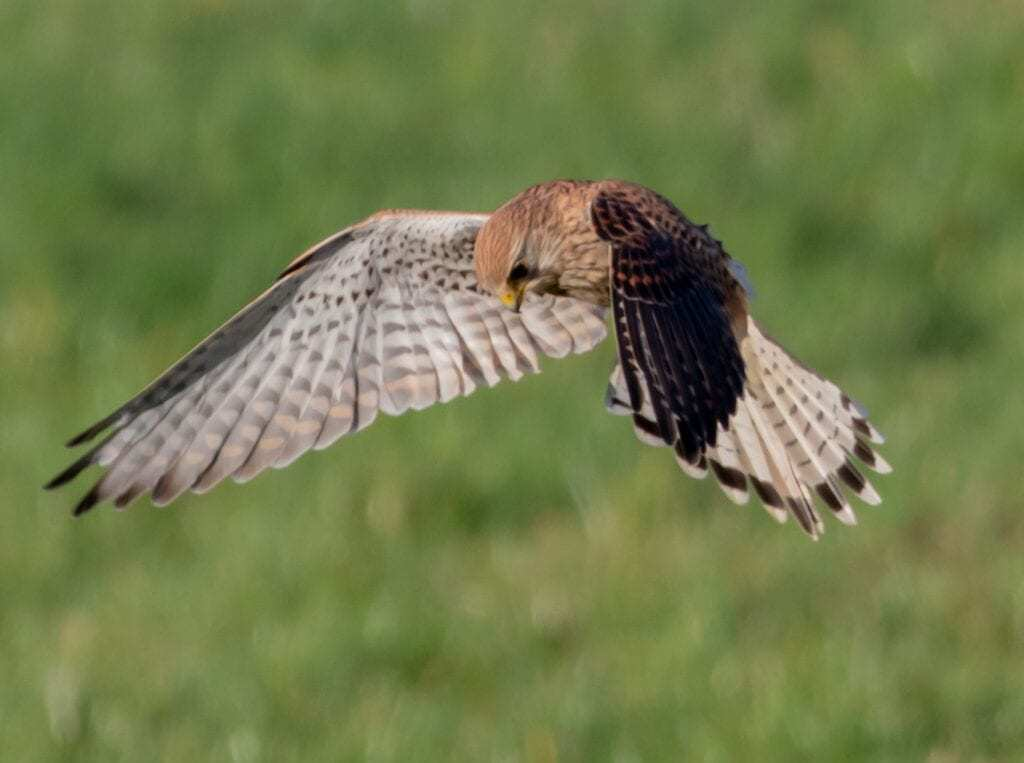 a bird of prey hovering over a field searching for prey