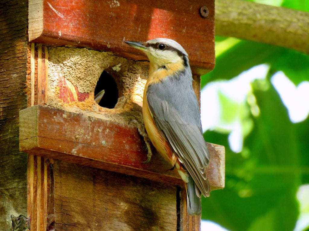 a nuthatch bringing food to a nest box