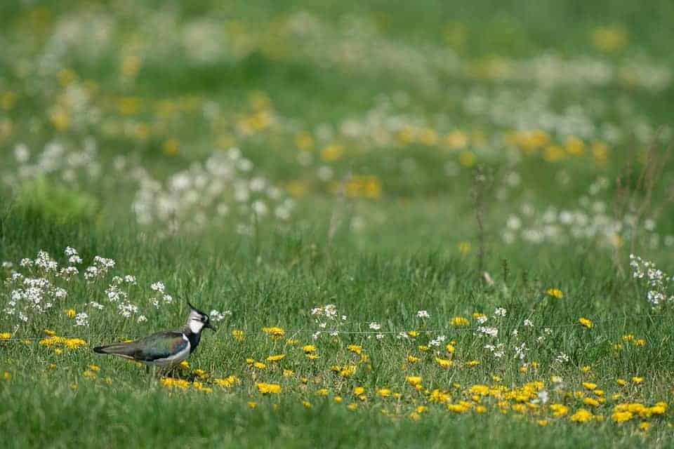 lapwing guide uk
