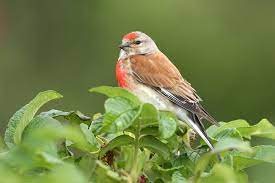 This image has an empty alt attribute; its file name is linnet-1.jpg