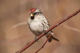 This image has an empty alt attribute; its file name is linnet-2.jpg