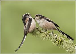 This image has an empty alt attribute; its file name is long-tailed-tit-2.jpg