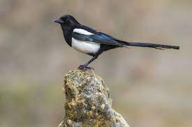 This image has an empty alt attribute; its file name is magpie-1.jpg