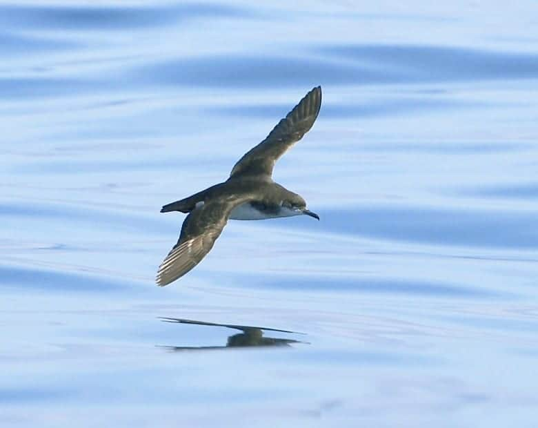 manx shearwater, sea bird, in flight, nature
