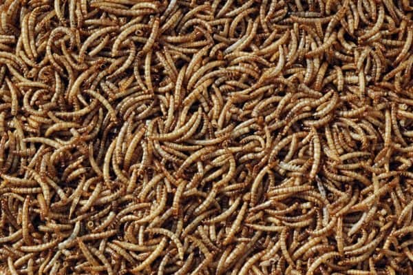 dried meal worms bird food