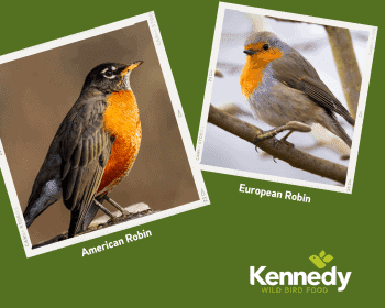 american robin compared against european robin