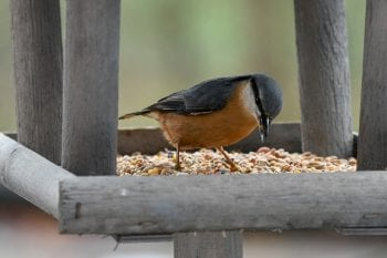 nuthatch eating bird feed from a bird table