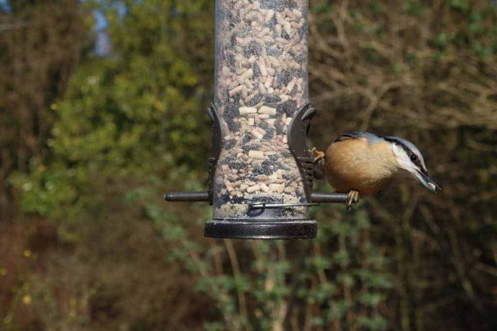 Nuthatch eating eating seeds from a bird feeder