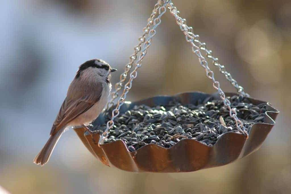 nyjer seed for birds