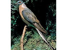 This image has an empty alt attribute; its file name is passenger-pigeon-1.jpg