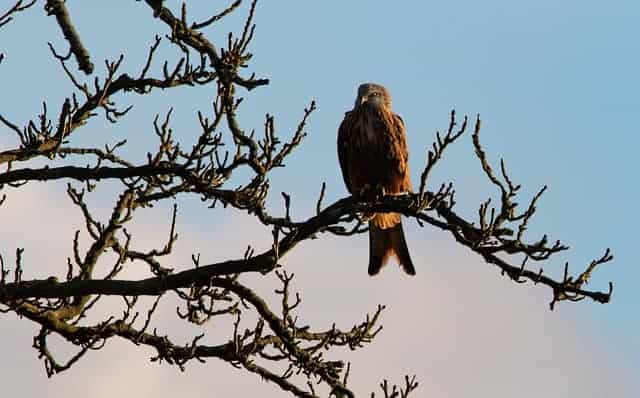 red-kite-in-tree
