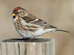 This image has an empty alt attribute; its file name is redpoll-1.jpg