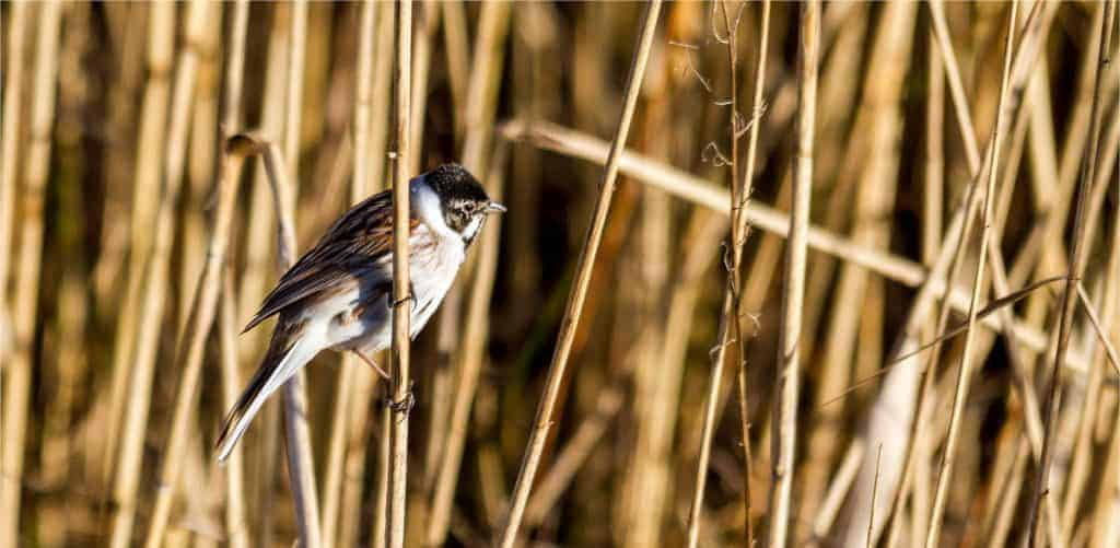 reed bunting bird guide