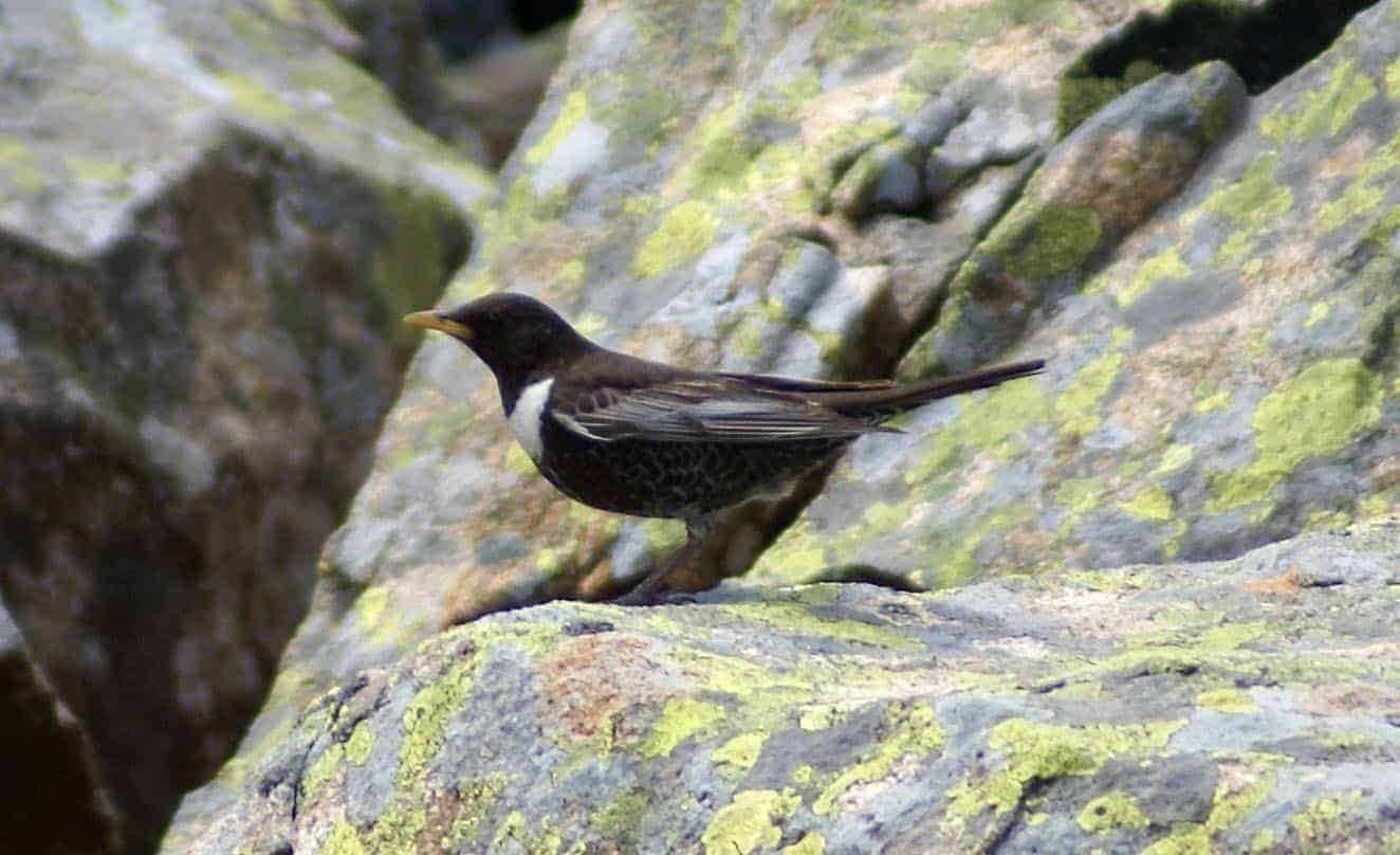 ring ouzel guide