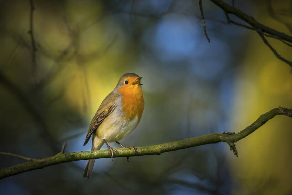 robin singing at night