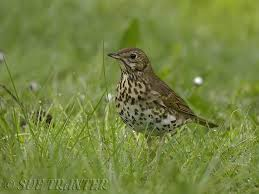 This image has an empty alt attribute; its file name is song-thrush.jpg