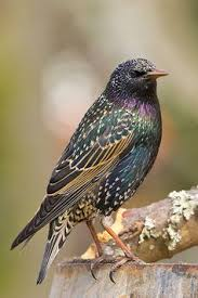 This image has an empty alt attribute; its file name is starling-2.jpg